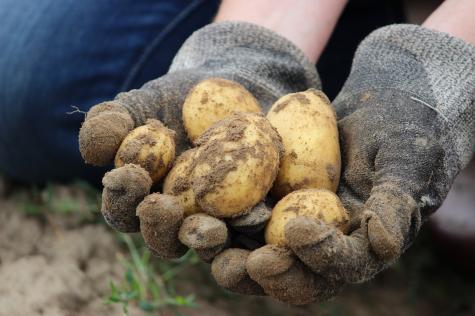 Israël interdit aux non-juifs d'élever des poulets et de cultiver des pommes de terre !